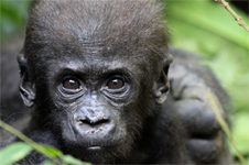 Baby Western Lowland Gorilla looks into camera